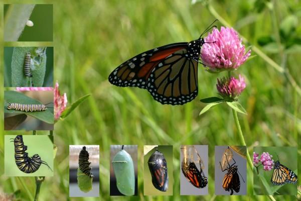 Ciclo de vida de un mariposa monarca