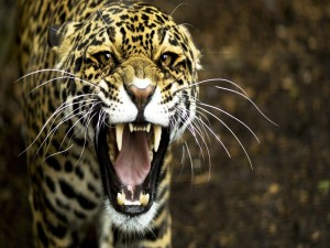 Postal: Jaguar mostrando los colmillos