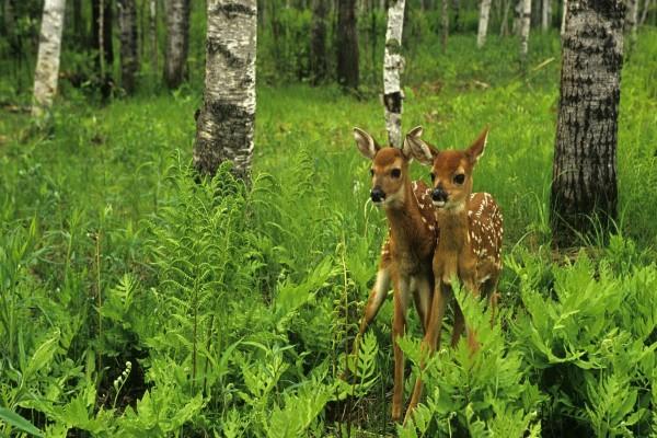 Pequeños ciervos en el bosque