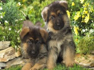 Postal: Cachorros de pastor alemán