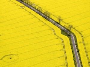 Carretera atravesando un campo amarillo