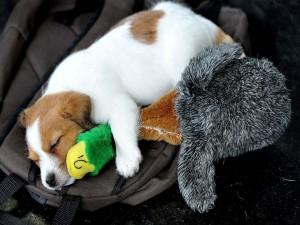 Perro dormido junto a un pato de peluche