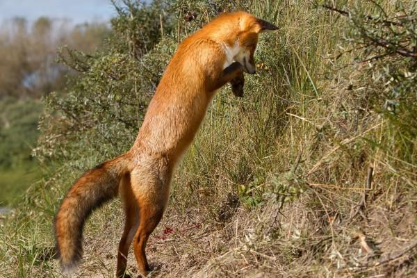 Zorro alzado sobre sus patas traseras