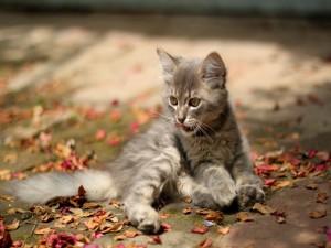 Gatito relamiéndose