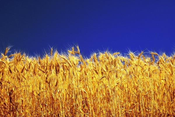 Trigo amarillo bajo un cielo azul