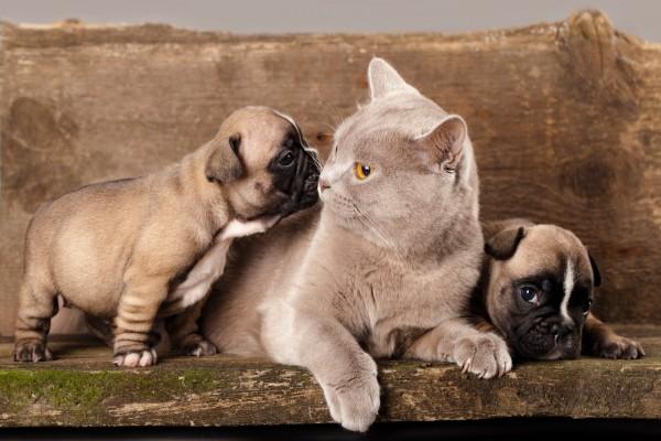 Gato entre dos perritos pequeños