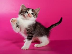 Tierno gatito en un fondo fucsia