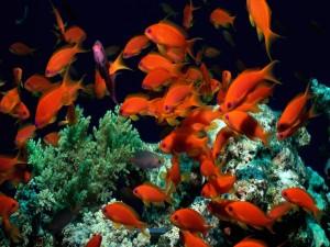 Postal: Peces naranjas en un acuario