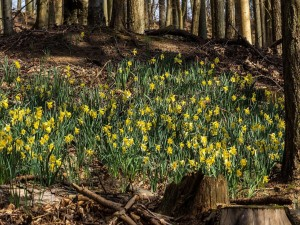 Narcisos en un bosque