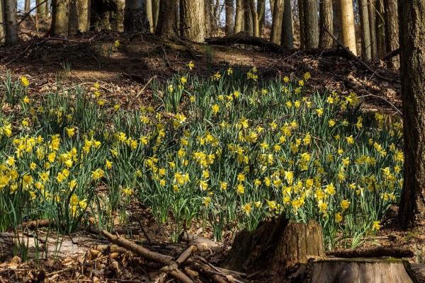 Narcisos en un bosque