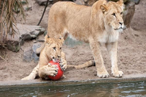 Cachorro de león con una pelota