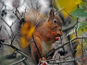 Postal: Ardilla comiendo bayas en un árbol