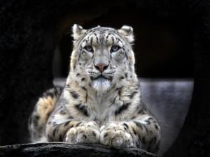 Un hermoso leopardo de las nieves