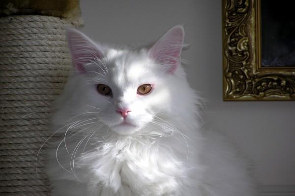 Un hermoso gato blanco