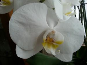 Postal: Orquídea blanca