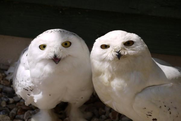 Dos simpáticos ejemplares de búho nival