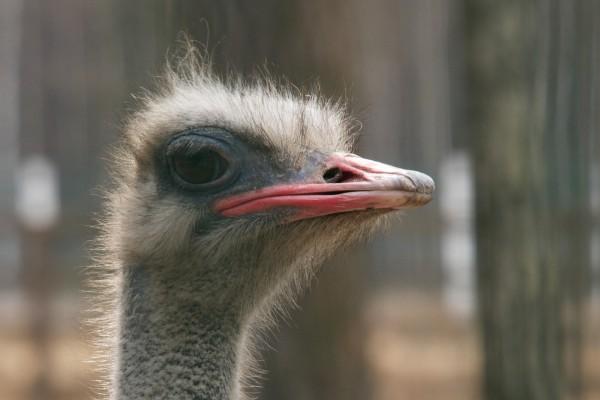 La cabeza de una avestruz