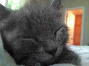 Postal: Gatito gris dormido