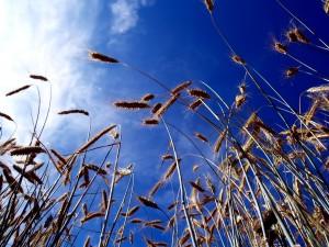 Postal: Espigas de trigo bajo un cielo azul