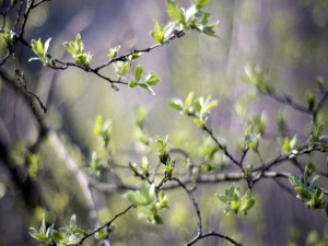 Postal: Brotes verdes en las ramas de un árbol