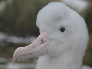 Albatros viajero (Diomedea exulans)