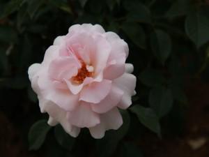 Postal: Rosa con delicados pétalos de color rosa