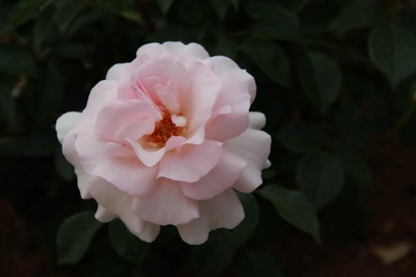 Rosa con delicados pétalos de color rosa