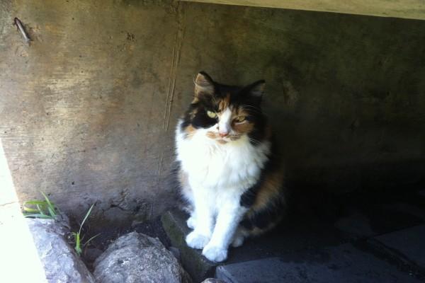 Un hermoso gato con el pelaje tricolor