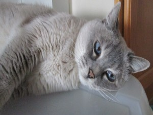 Postal: Un bonito gato de color gris claro