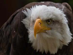 Postal: Gran pico de un águila calva