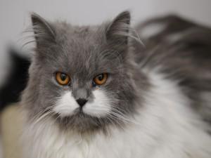 La mirada de un gato blanco y gris