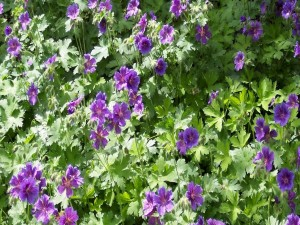 Postal: Unos geranios resplandecientes de color púrpura en un jardín