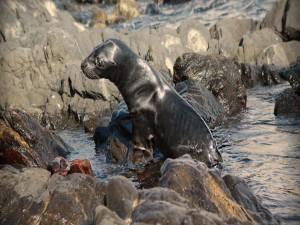 Un león marino saliendo del agua