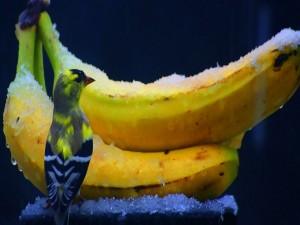 Postal: Pájaro junto a unas bananas congeladas