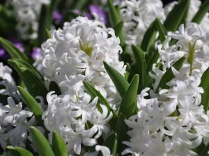 Jacintos blancos en un jardín