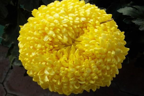 Un bello crisantemo amarillo
