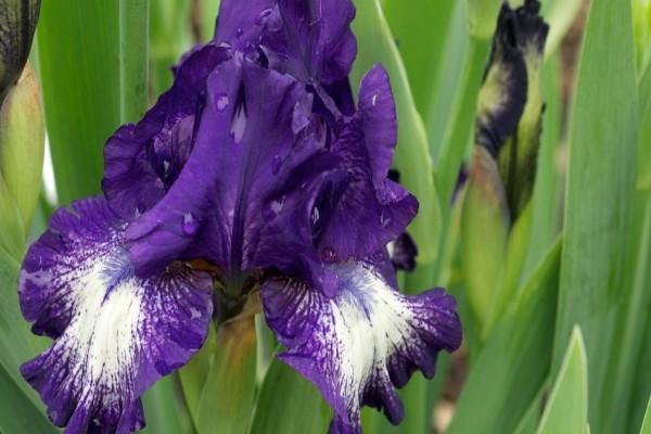 Iris blanco y morado con gotas de rocío