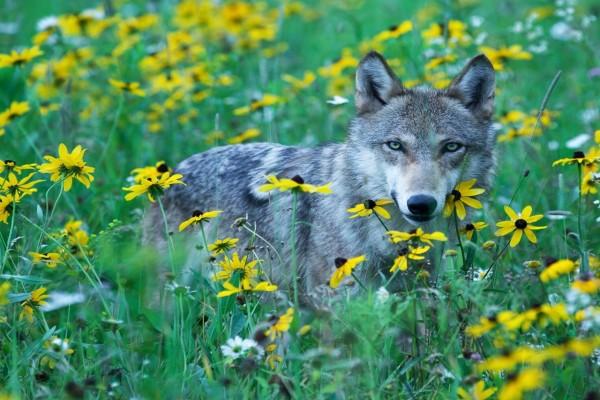 Lobo gris entre flores amarillas