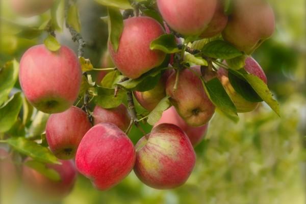 Manzanas en las ramas de un manzano