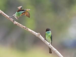Dos abejarucos europeos en una rama