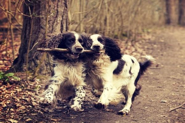 Dos encantadores perros jugando con un palo
