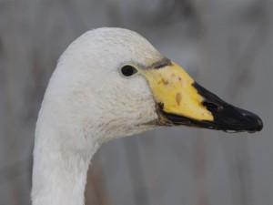 Cabeza y pico de un pato