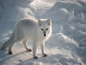 Un bonito zorro ártico