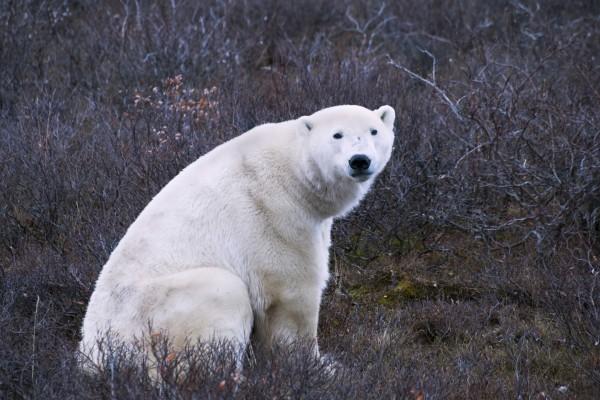 Uno oso polar sentado entre arbustos secos