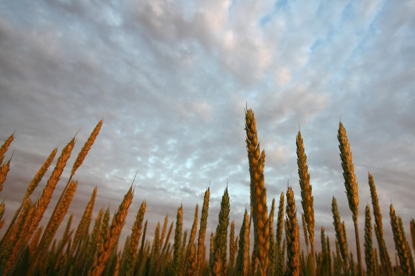 Espigas de trigo en un campo
