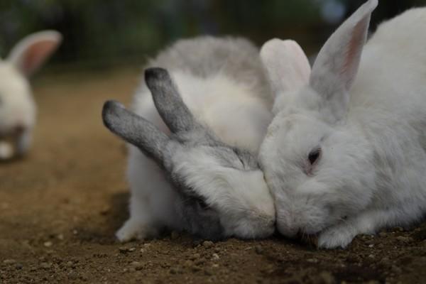 Conejo peleando por la comida