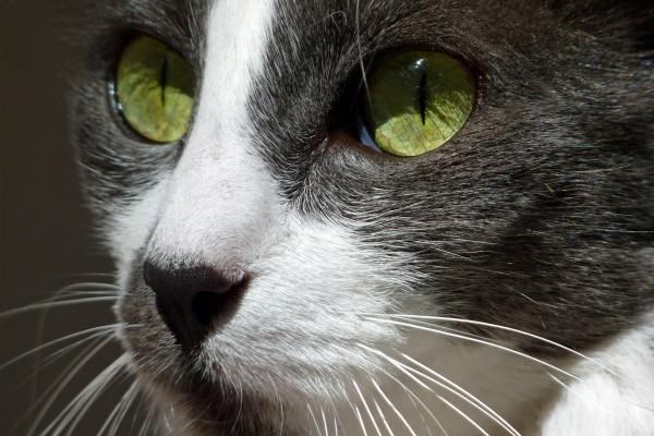 Brillantes ojos verdes de un gato