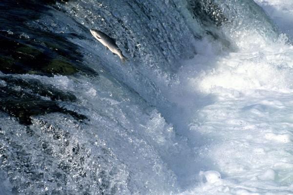 Salmón remontando el río