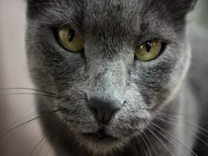 La cara de un gato gris