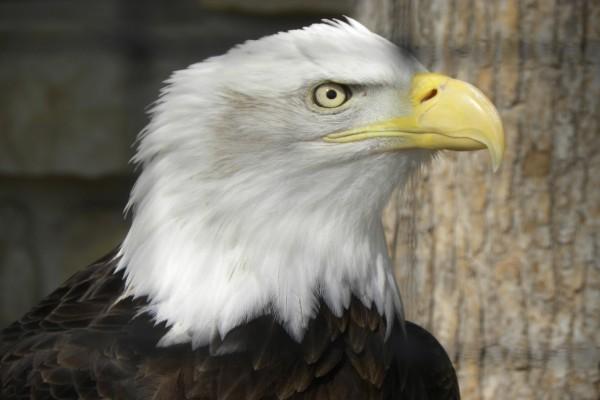 El afilado pico de un águila calva